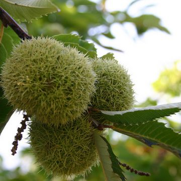 'Greater Massifs of Chestnuts in Balkans' are located in northern Albania