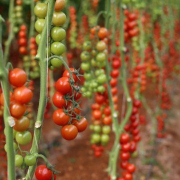 How can Bioenergy Fuel Albanian Farmers' Competitiveness