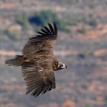 Albania's Rare Vultures (Shkaba) Finally Making a Comeback