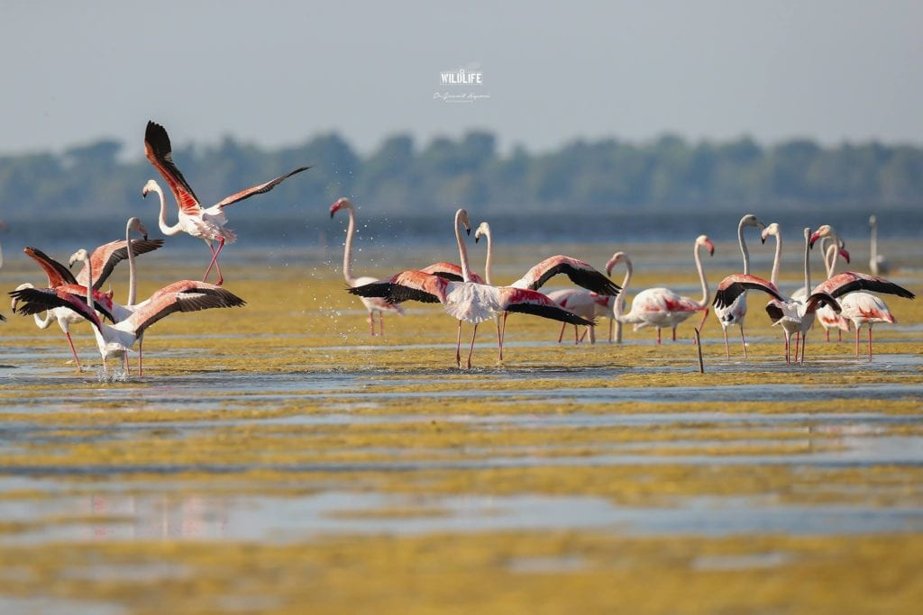 Flamingos Albania birdwatching