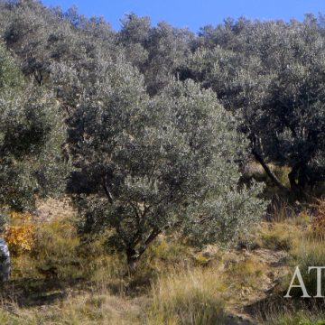 Olive production is at low levels this year