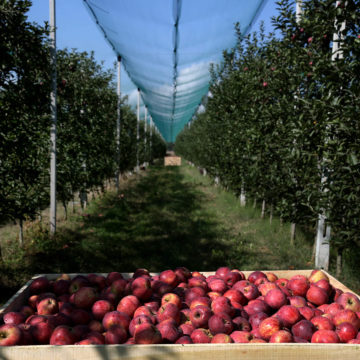 Sweet Farm Unifies 200 Apple Farmers in Korca