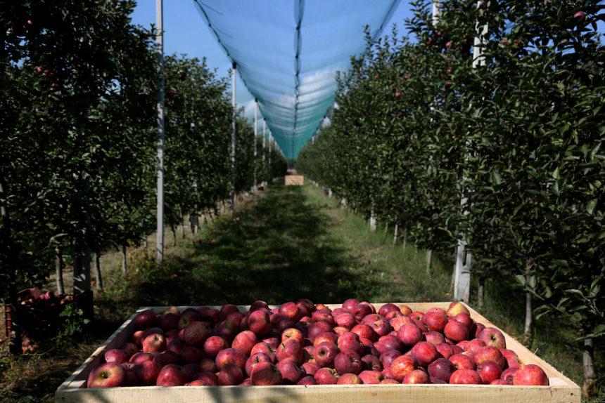Sweet Farm Unifies 200 Apple Farmers in Korca