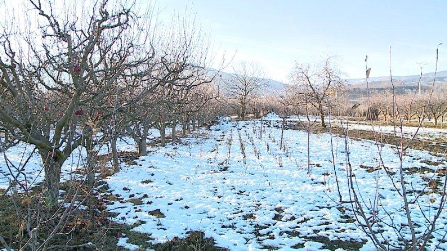 apple farmers Korca