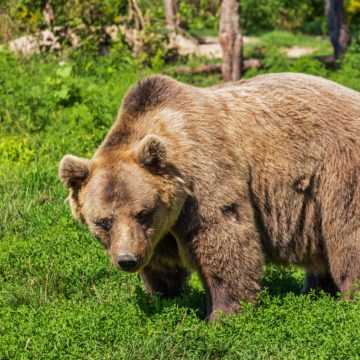 Brown Bear Shot and Killed in Kukes