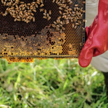 More Bee Farms this Year, but Subsidy is Still Modest