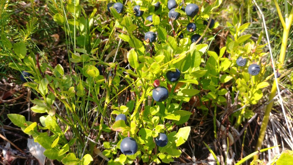 Puka blueberries in Gojan mountains, July 2021, credit Ilir Shyti
