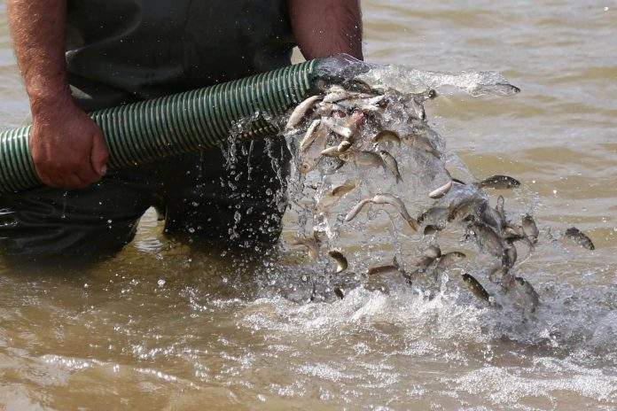 160K Carp Fingerlings Stocked into Fierza Lake after 15 Years