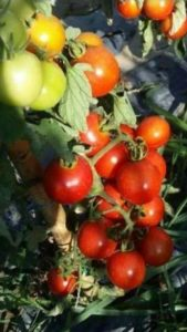 Cerre-tomato