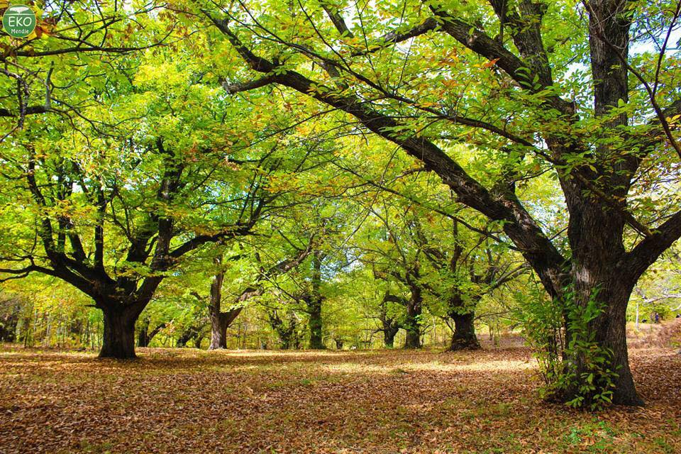 Chestnut trees in Rec