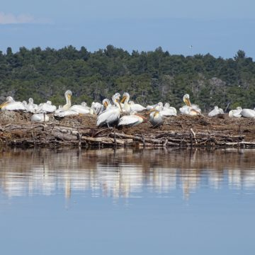 Nesting Dalmatian Pelicans in Divjaka-Karavasta Hit Record Number in 2020
