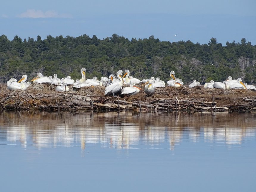 Nesting Dalmatian Pelicans in Divjaka-Karavasta Hit Record Number in 2020