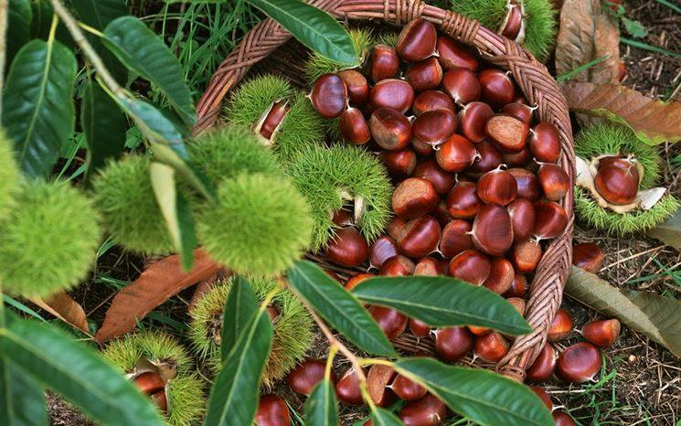 Increased Demand for Albanian Chestnuts in EU Markets