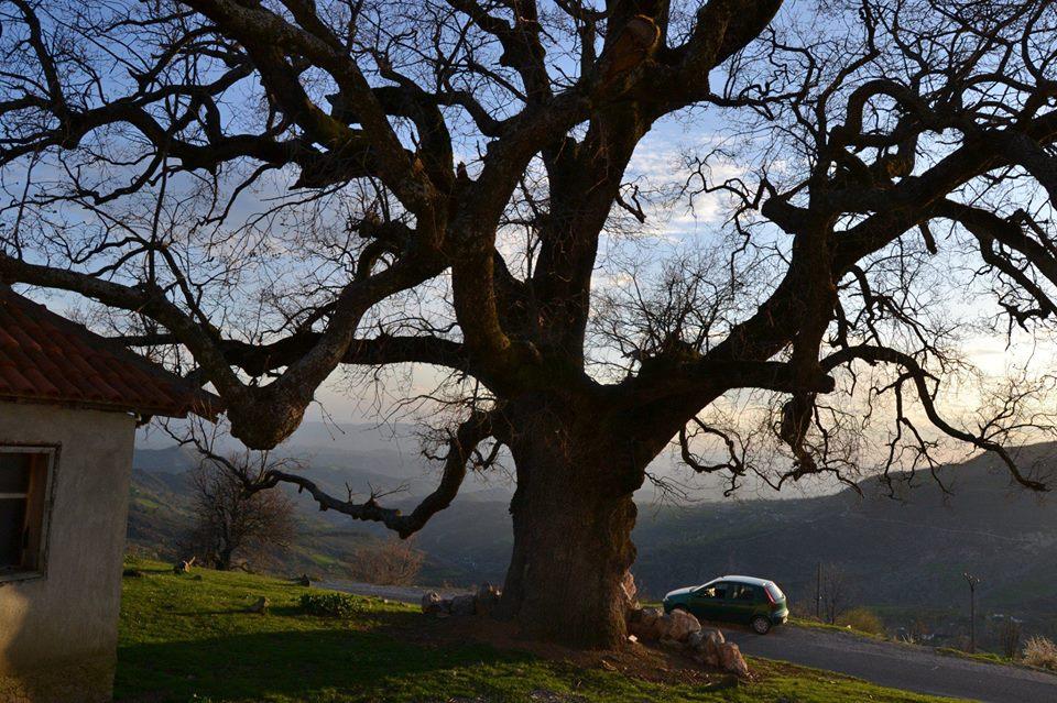 gjinar tree