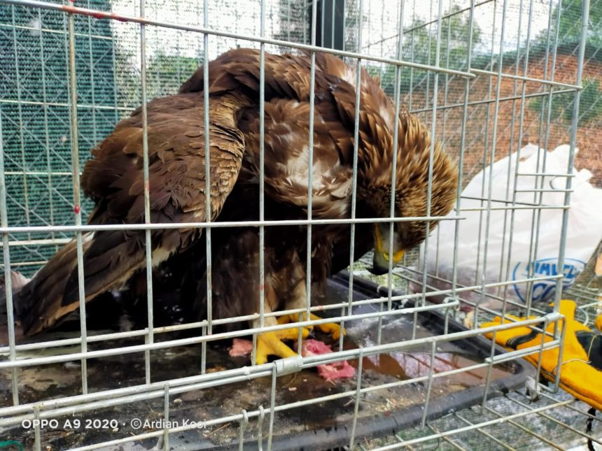 Golden Eagle Shot and Injured by Poachers