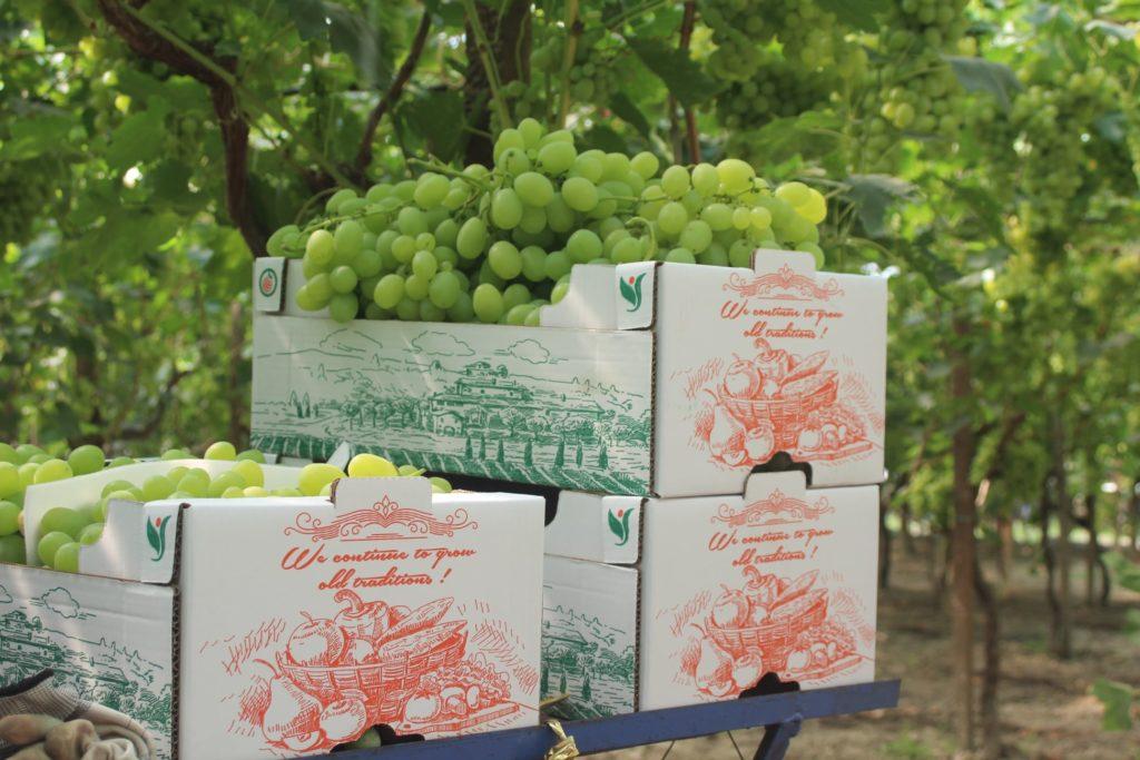 Albania grape