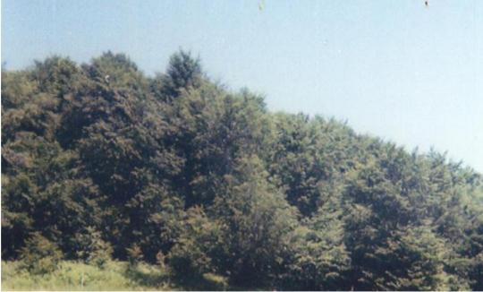 gurra field beeches
