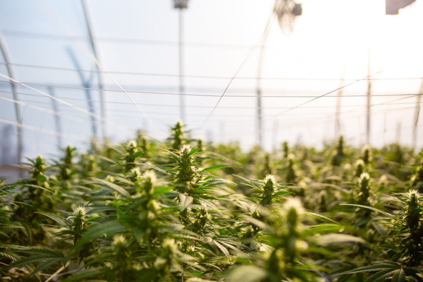 Would You Support the Cousin of Marijuana for the Sake of Agriculture?