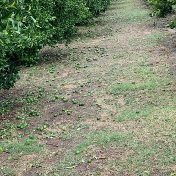 Heavy Hailstorm Hit Konispoli Citrus Orchards