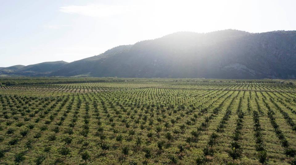 Mandarin plantation