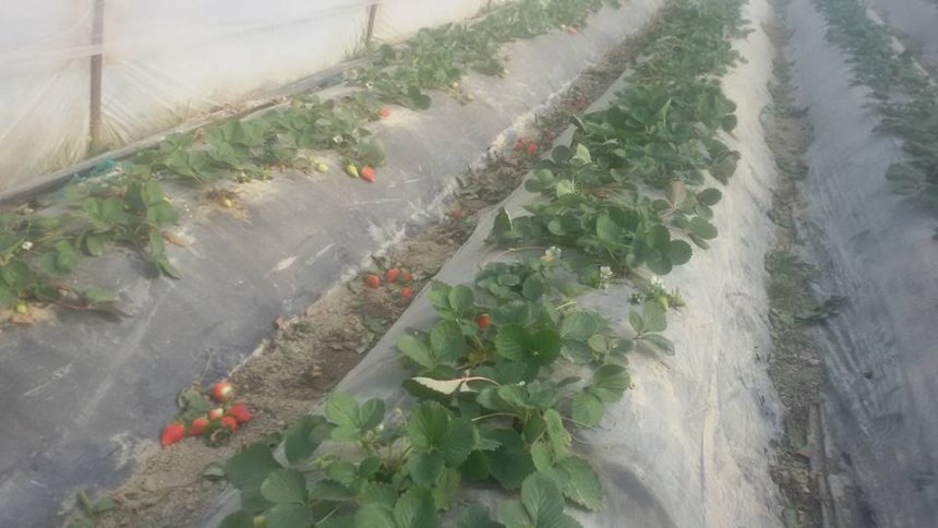 Cold Weather Causes Strawberry Crop Destruction in Fier
