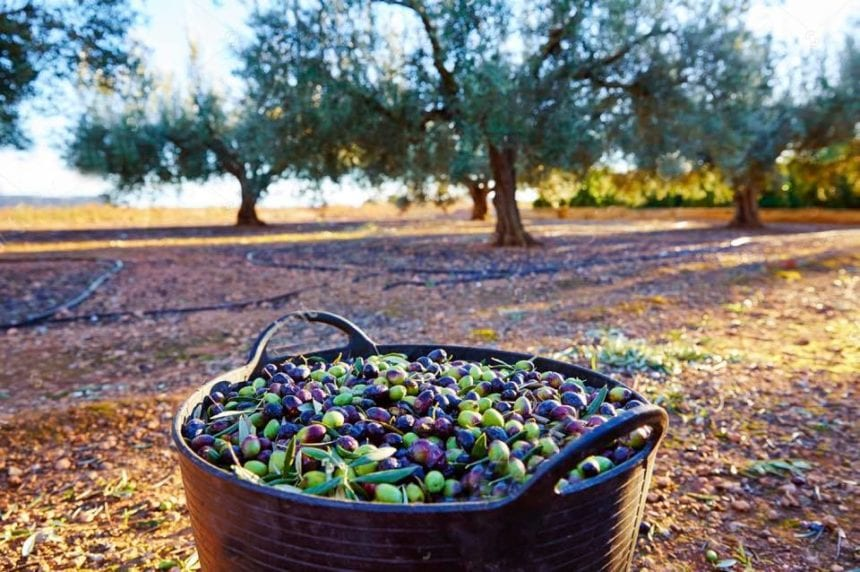 Olive Growers Saw High Yields, Climate Change Action Urged
