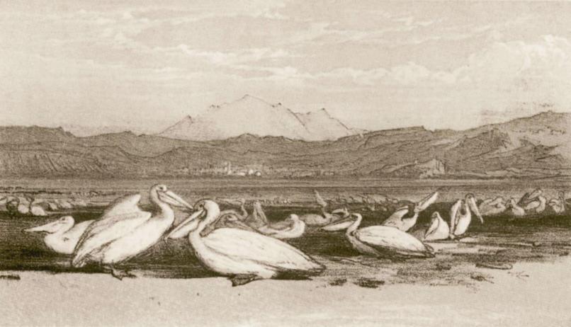 pelicans Zvernec
