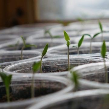 EU Certified Hybrid Seeds Tested in Fields