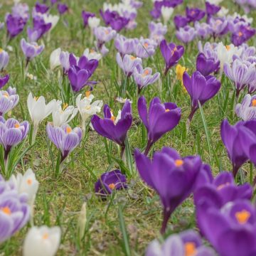 Albanians Start Cultivation of High-Priced Saffron Plant