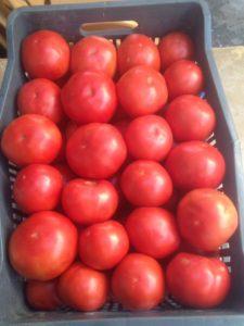 Shengjergji Tomato Variety