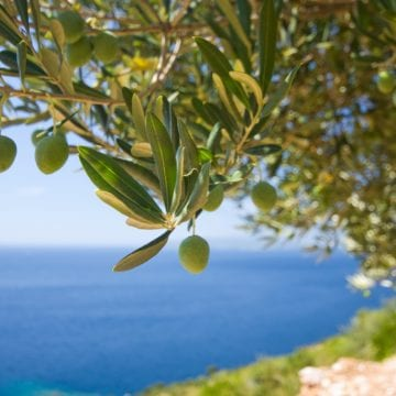 Bid on Olive Trees Database Launched