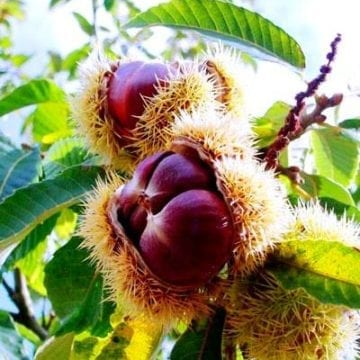 Tropoja's Chestnuts Ready for the International Market