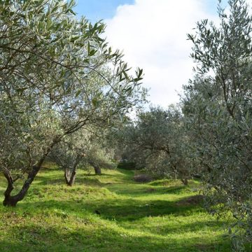 Southern Albania Olive Farming Sector Set to Grow