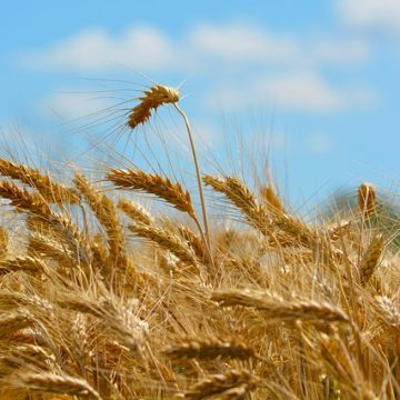 Wheat cultivation in Albania
