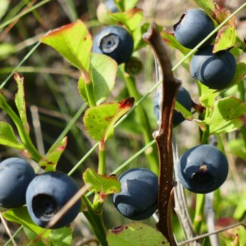 Albanian Products: Blueberries